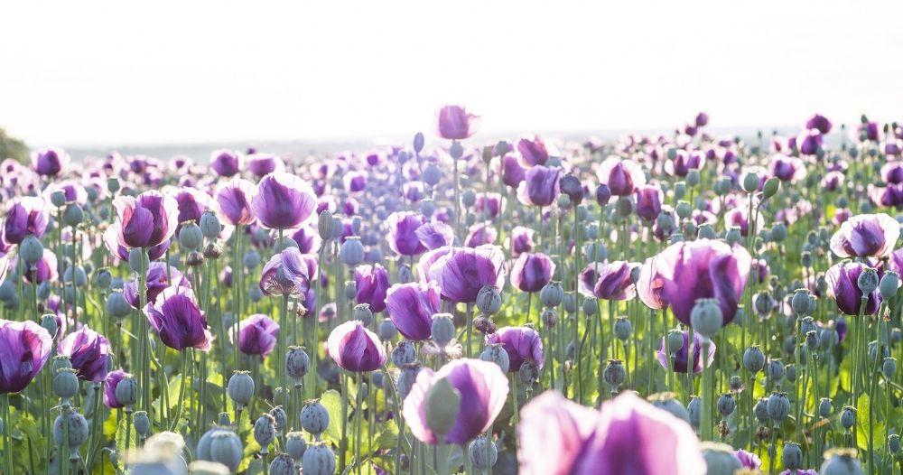 jnj australia opium poppy field